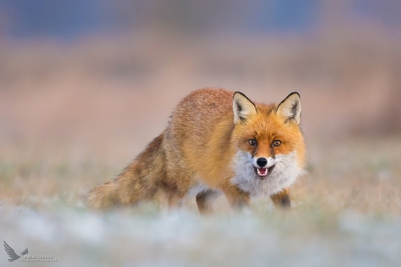 red fox, animals, wildlife, nature, colors, winter, meadow, predator, nikon, nikkor, lens, lusbuekie, poland Lis, Fox (Vulpes vulpes) ...photo preview