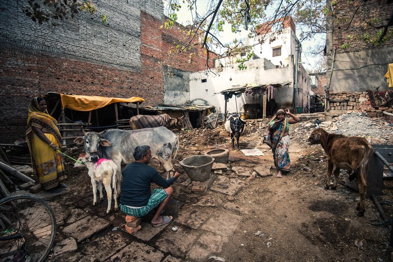 Varanasi Cow Farmphoto preview