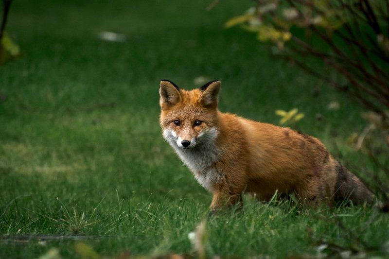 пермский край, животные, лиса, дикие животные, лисенок Лисенокphoto preview