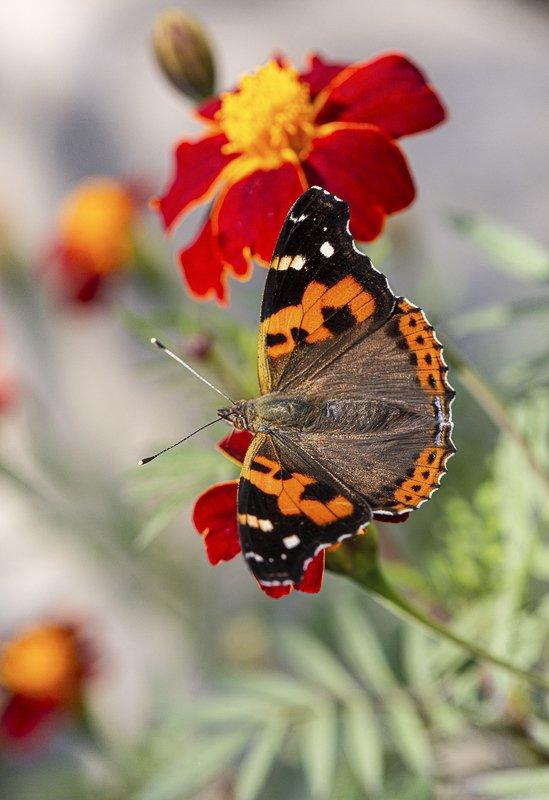 бабочка, индийский, адмирал, vanessa, indica, цветок, бархатцы, владивосток, осень, октябрь Осенняяphoto preview