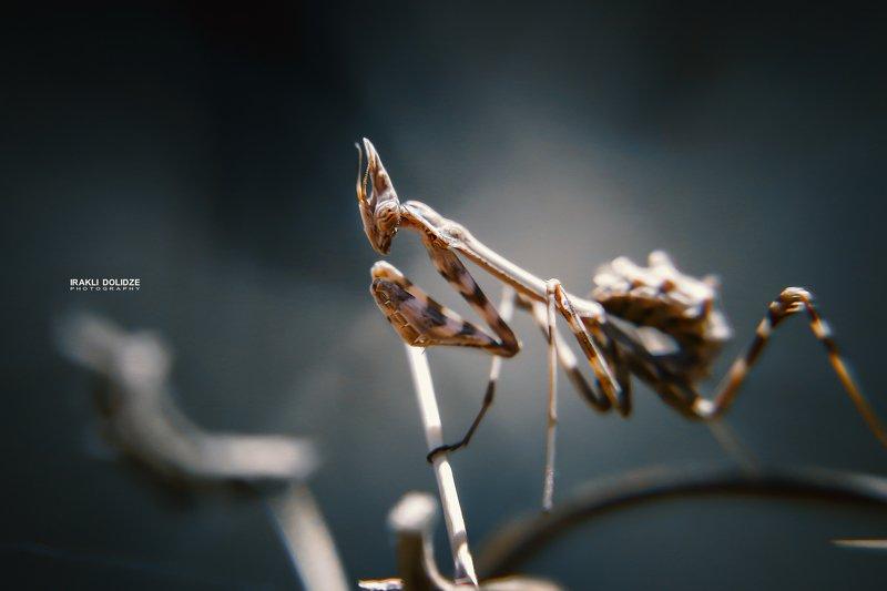 mantis religiosa, macro, close-up, outdoor, photography Mantis Religiosaphoto preview