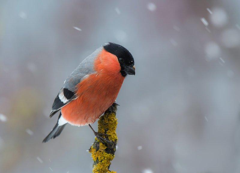 птицы,природа, зима Снегирьphoto preview