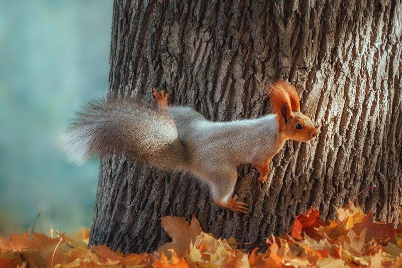 canon 55-250, beautiful, красивый, moment, момент, nature, природа, wildlife, живая, осенний, autumn, осень, animal, животное, forest, лесное, fluffy, пушистая, red, рыжая, squirrel, белка, Шпагат с переворотом :)photo preview