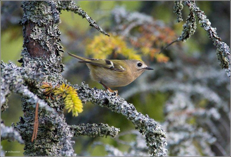 королёк,желтоголовый,птица,сказочный,лес В сказочном лесуphoto preview