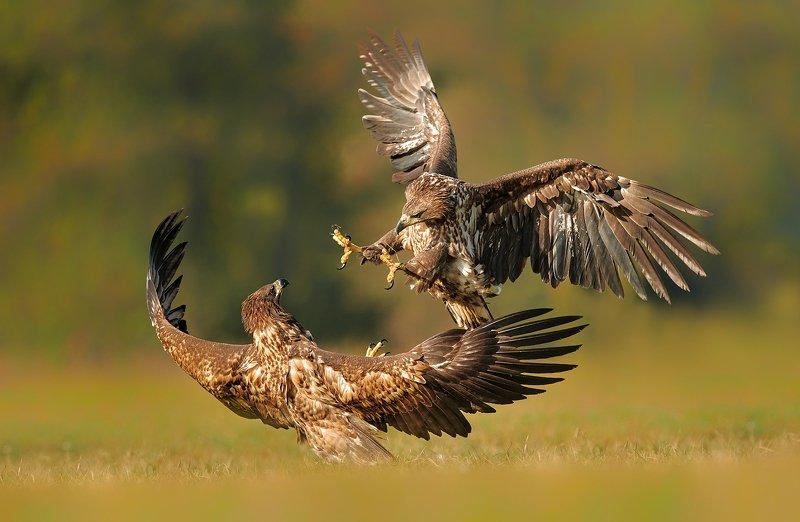 eagle, animal, wildlife,  Eaglesphoto preview