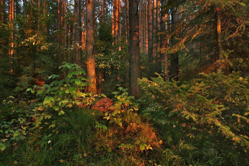 лес, тайга, природа, вечер, деревья, муравейник Теплый вечер в тайгеphoto preview