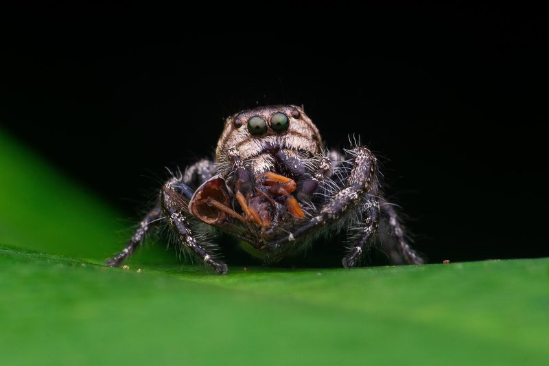 macro photography Jumping Spider with Killphoto preview