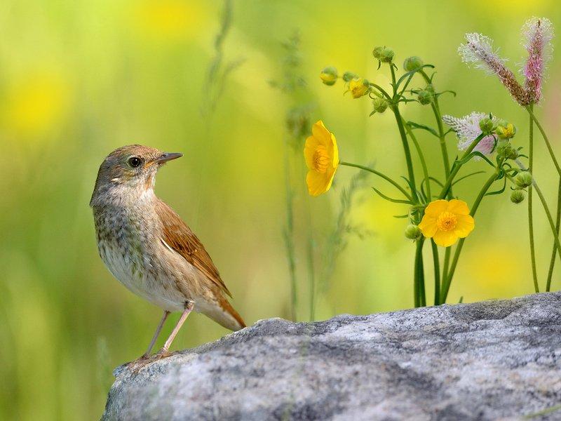природа, фотоохота, соловей, птицы, животные, цветы, лето Летние воспоминанияphoto preview