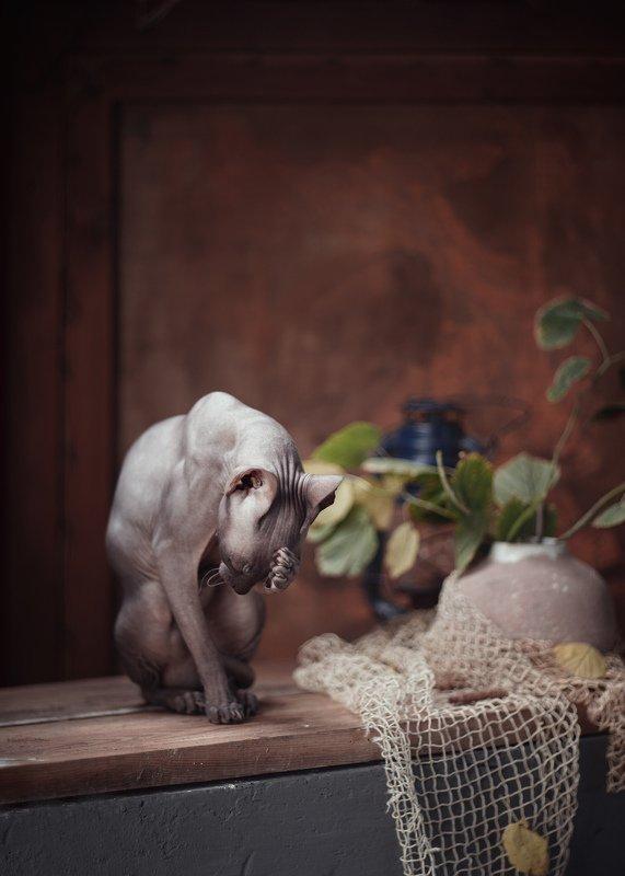 сфинкс кошки домашние животные в натюрморте портрет Осеньphoto preview