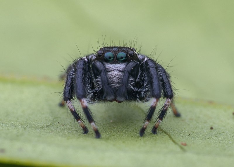 macro photography Jumping Spiderphoto preview