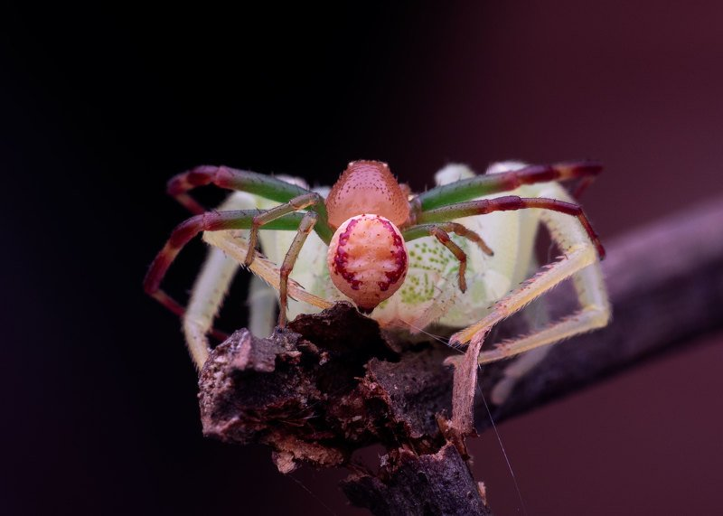 macro photography Crab Spider in Actionphoto preview