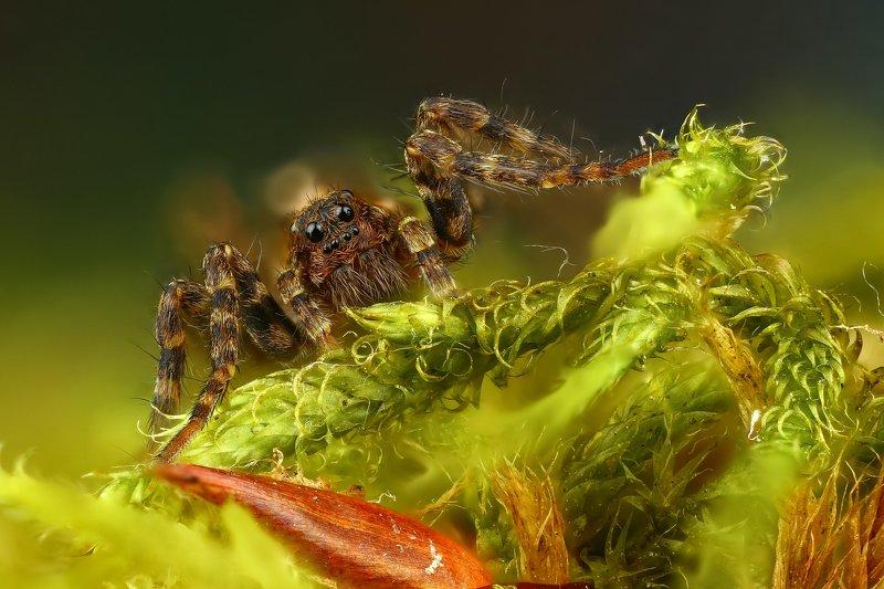 паук макро природа глаза цвет зеленый коричневый Ку-Ку!photo preview