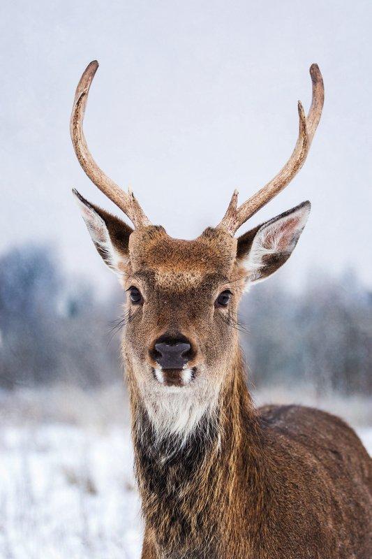 Олень, животное, рога, копытное, animals Олений Портретphoto preview