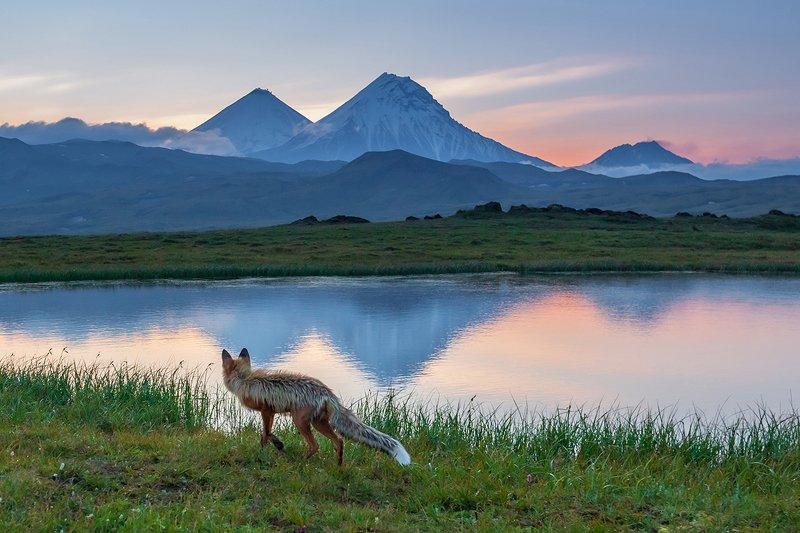 камчатка, лиса, природа, рассвет, путешествие, фототур, озеро, отражение, животные Лис в Долине великановphoto preview