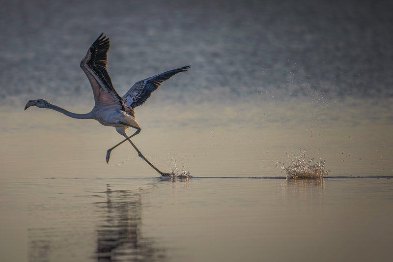 Running flamingo...photo preview