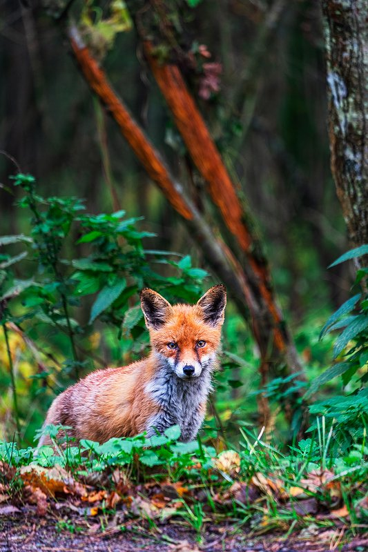 fox, forest, curonian spit, лиса, лес, куршская коса [begging fox]photo preview