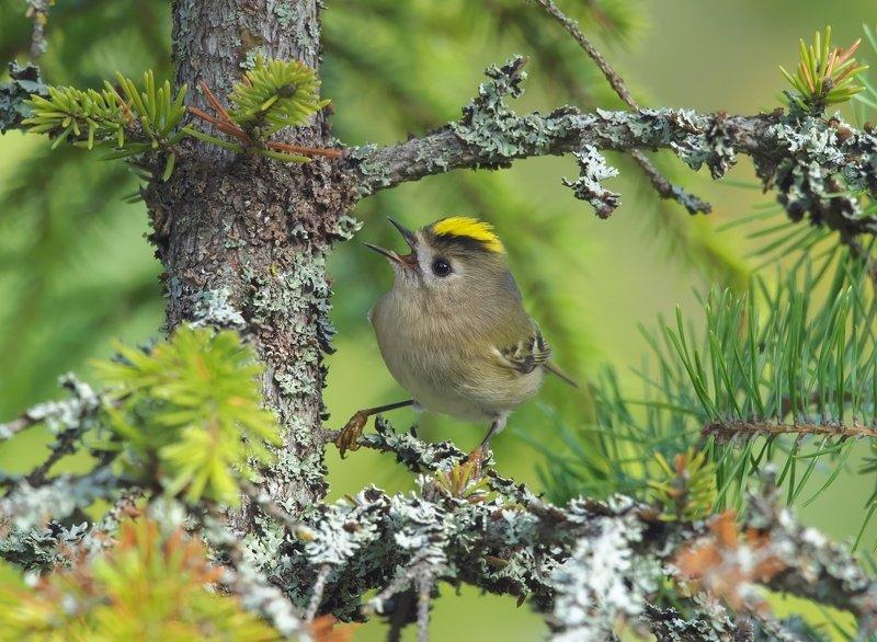 птицы,желтоголовый королек Желтоголовый королекphoto preview