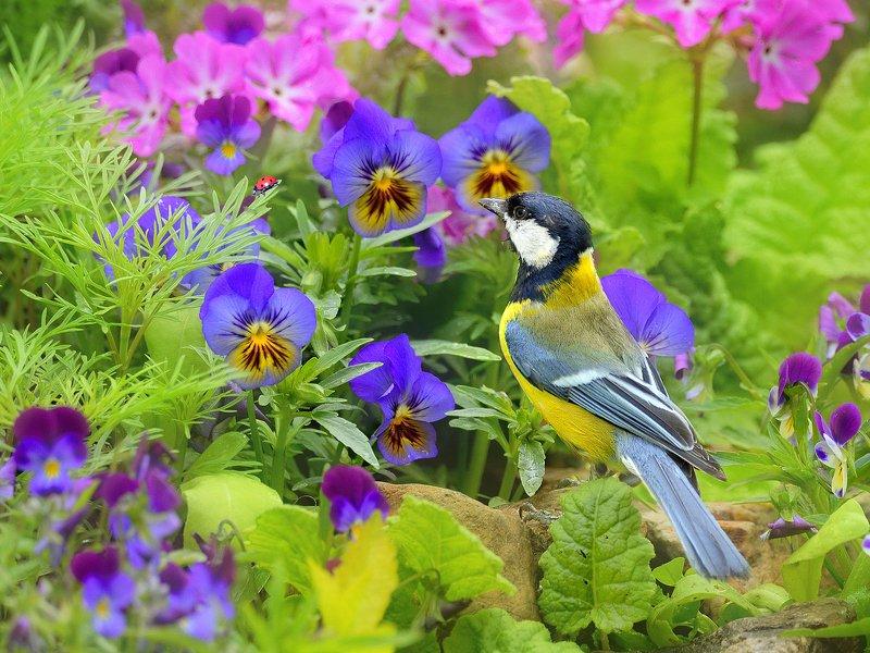 природа, фотоохота, синица, птицы, животные, цветы, лето Птицы нашего сада 4photo preview
