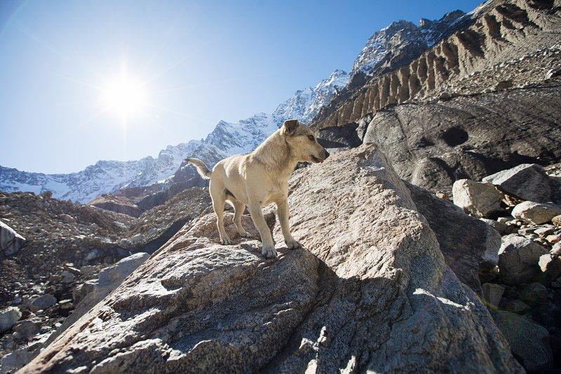 Булунгу, горы, собака, пёс, кавказ, Шаурту, ледник Гончийphoto preview