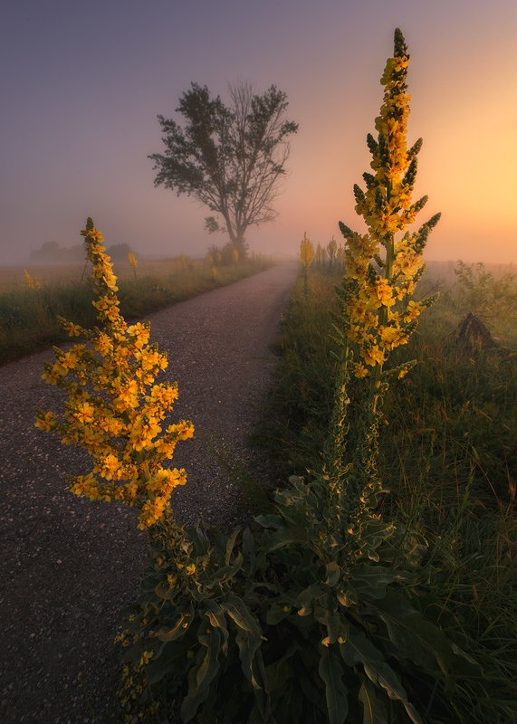 flowers nature fog morning spring mist colors yellow Mulleinphoto preview