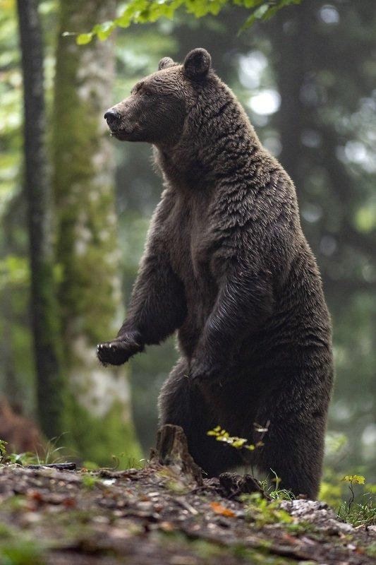 brown bear ursus arctros Looking arroundphoto preview