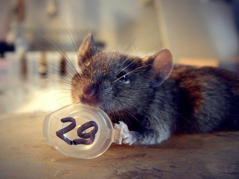 мышь, лаборатория Усы №29photo preview