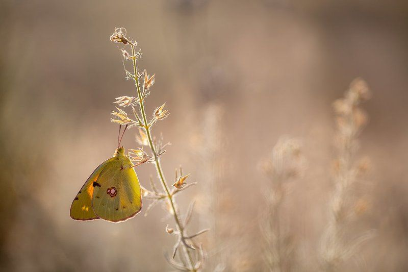 lepidoptera, canon, 100mm, l is, 5dmkii Colias croceaphoto preview
