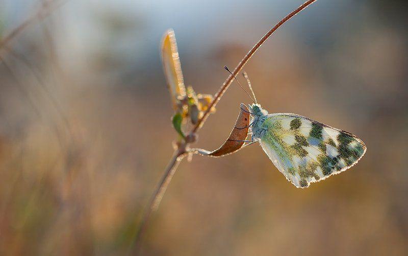 lepidoptera,canon, 5d mkii, sigma,macro, apo, dg 180mm Pontia daplidicephoto preview