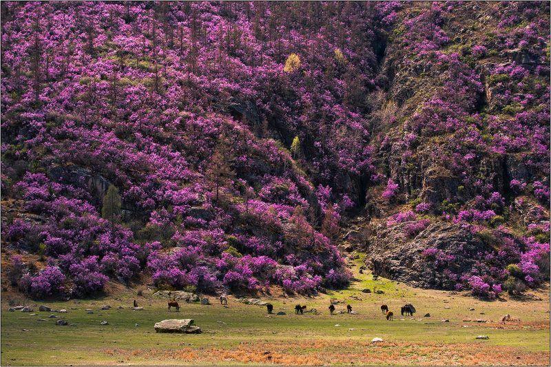 алтай, весна, багульник ...когда всё фиолетово...photo preview