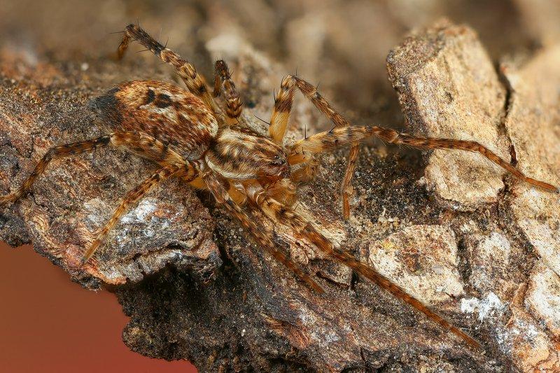 паук макро природа цвет черный коричневый Йогаphoto preview