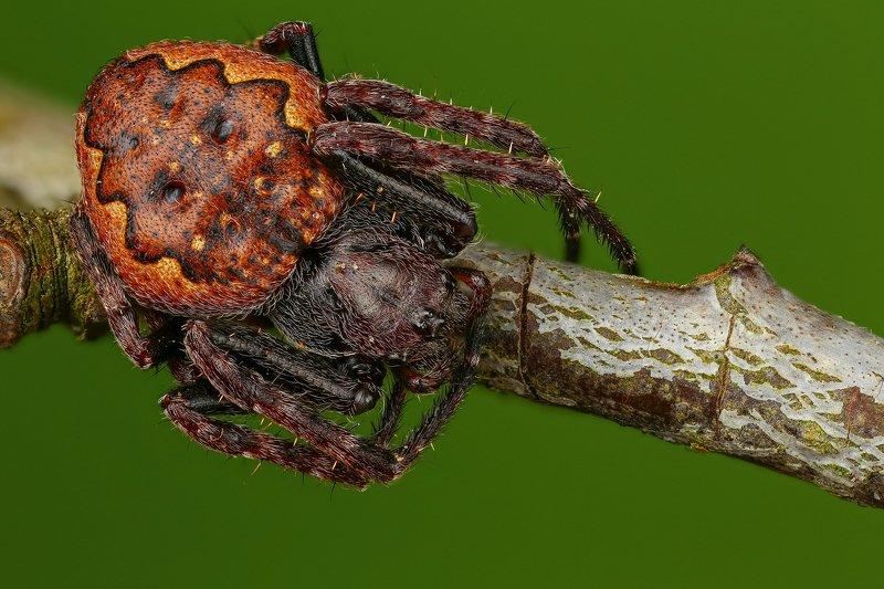 паук макро природа ветка цвет зеленый коричневый Нуктенеяphoto preview