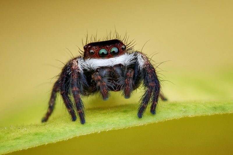 Santa jumping spiderphoto preview