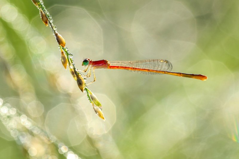 Damselfly photo preview