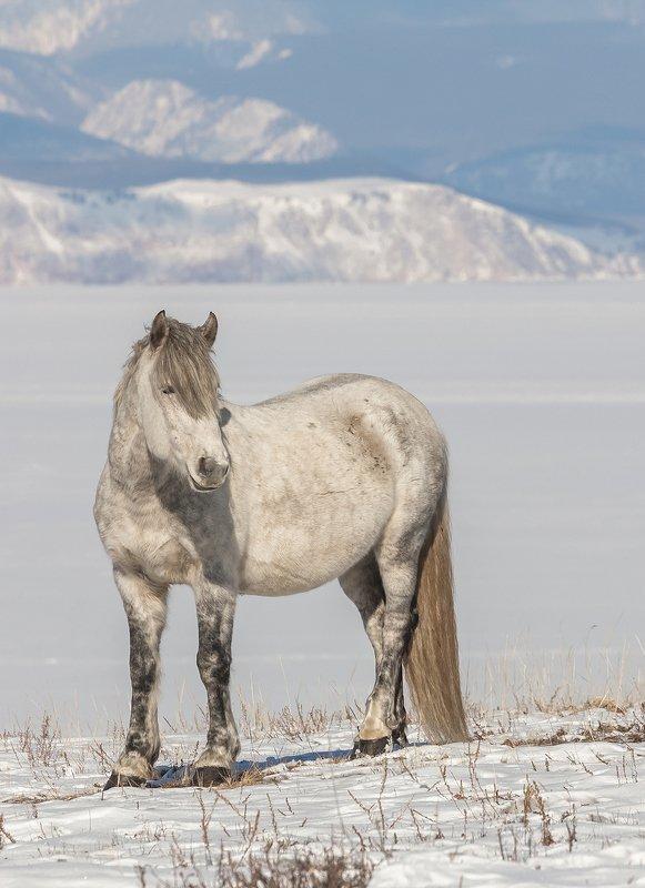 байкал, ольхон, дикая лошадь, степь, озеро, прибайкальский национальный парк Дикие лошади Ольхонаphoto preview