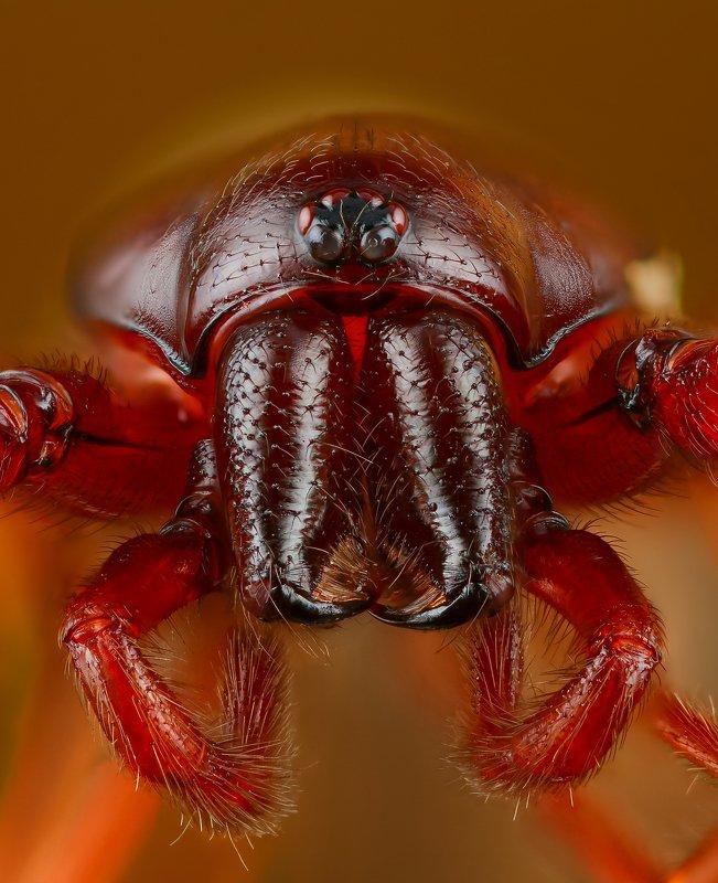 паук макро природа глаза цвет портрет коричневый Ночной кошмар мокрицphoto preview