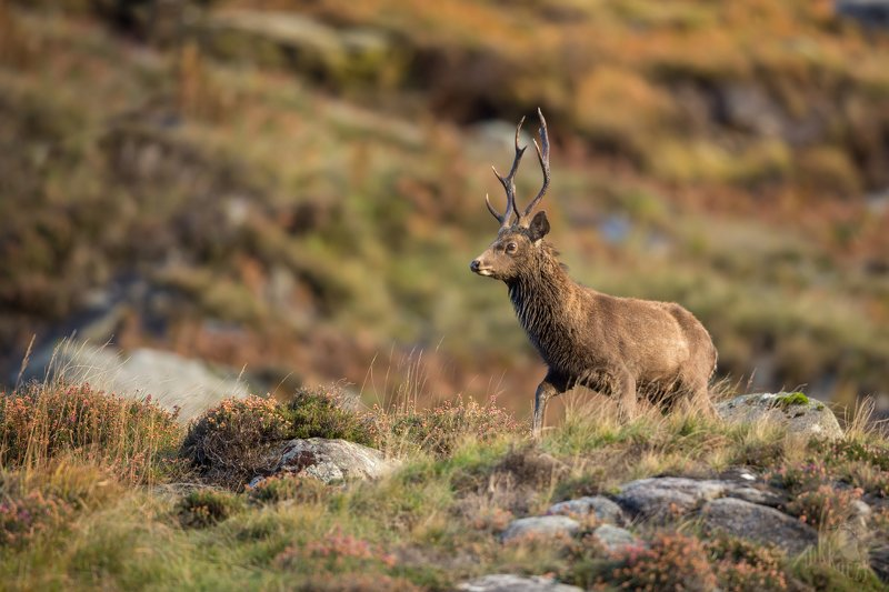 sika Sika deerphoto preview