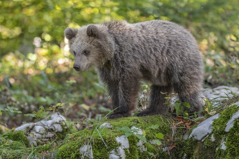 brown bear ursus arctros cute cubphoto preview