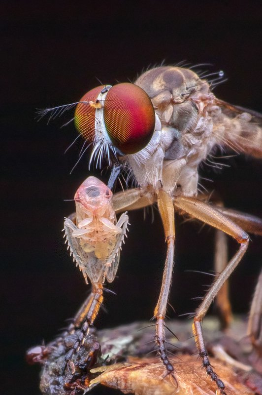 macro photography Robber Fly with killphoto preview