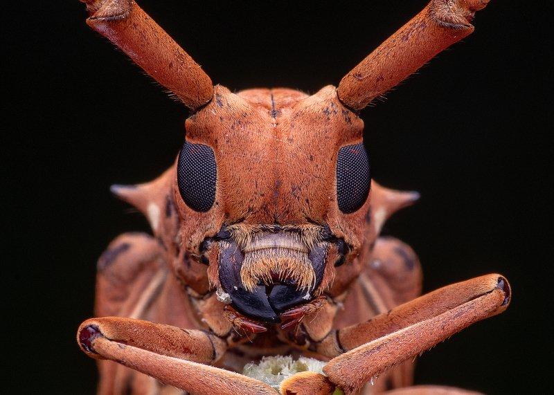 macro photography Longhorn beetlesphoto preview