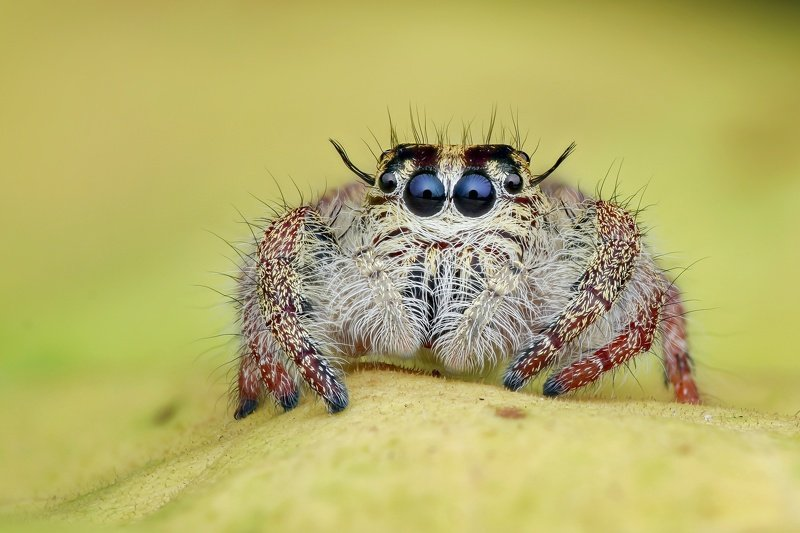 Hyllus jumping spider Handheld Focus stacking  Hyllus jumping spiderphoto preview