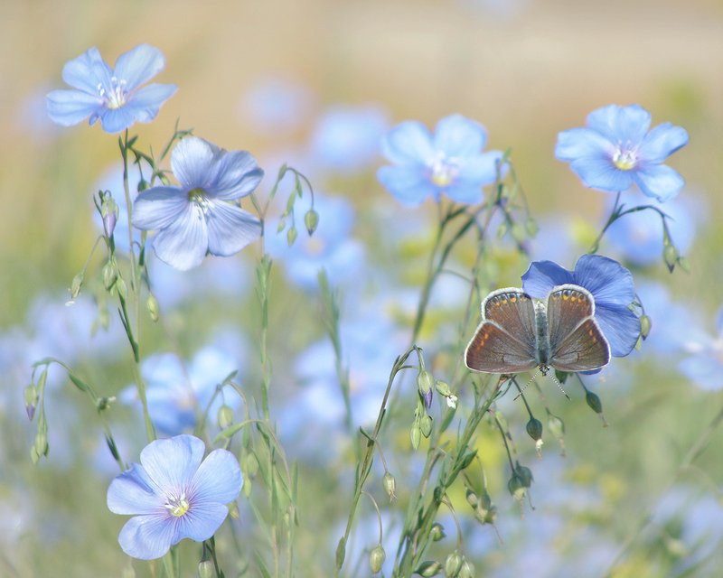 макро, бабочка, голубянка, цветы, лён Голубые цветыphoto preview