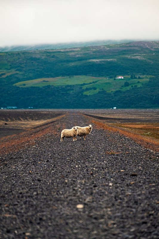 iceland, sheep, исландия, овцы [iceland locals]photo preview