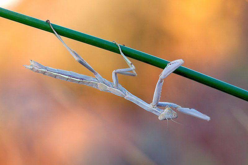 mantodea, mantis, 5dmkii, 100mm l is, canon, macro, madrid, spain Mantis religiosaphoto preview