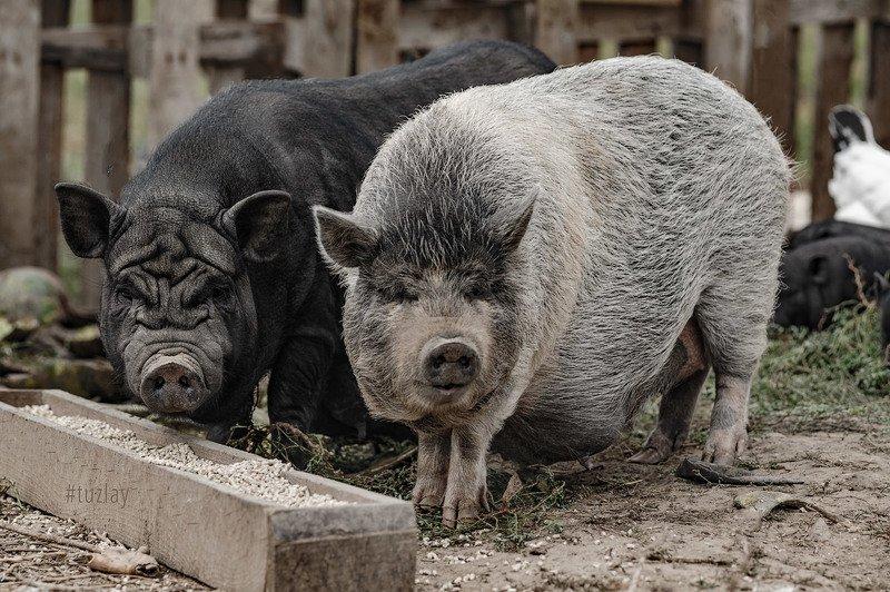 свиньи, хрюшки, пастораль, юпитер 37а, поросята «Свинская» фотосессияphoto preview