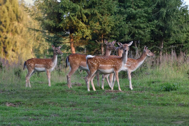 лес,олени,пятнистые дружная компанияphoto preview