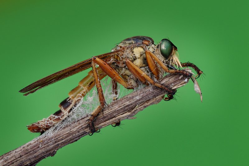 robberfly Handheld Focus stacking  Robber flyphoto preview