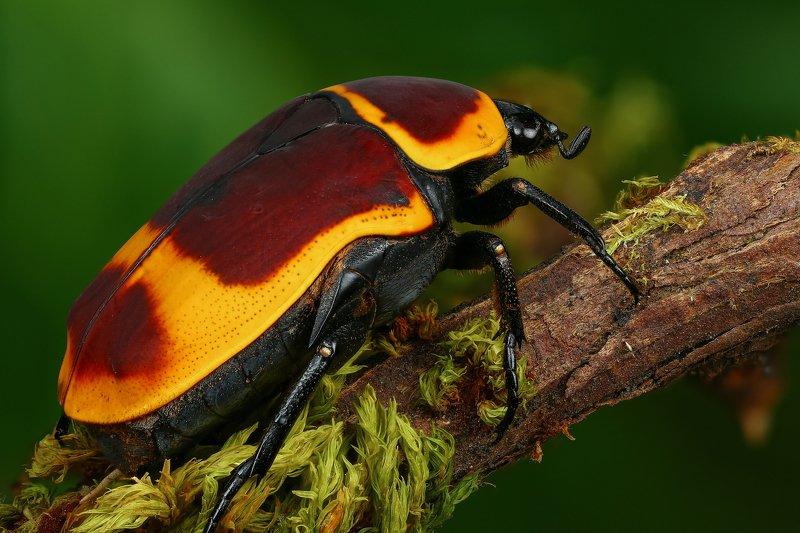 жук макро природа усы цвет черный коричневый зеленый желтый Pachnoda marginata peregrinaphoto preview