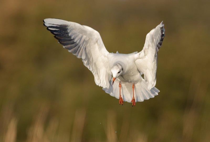black headed gull, bird, flight, action Black Headed Gullphoto preview