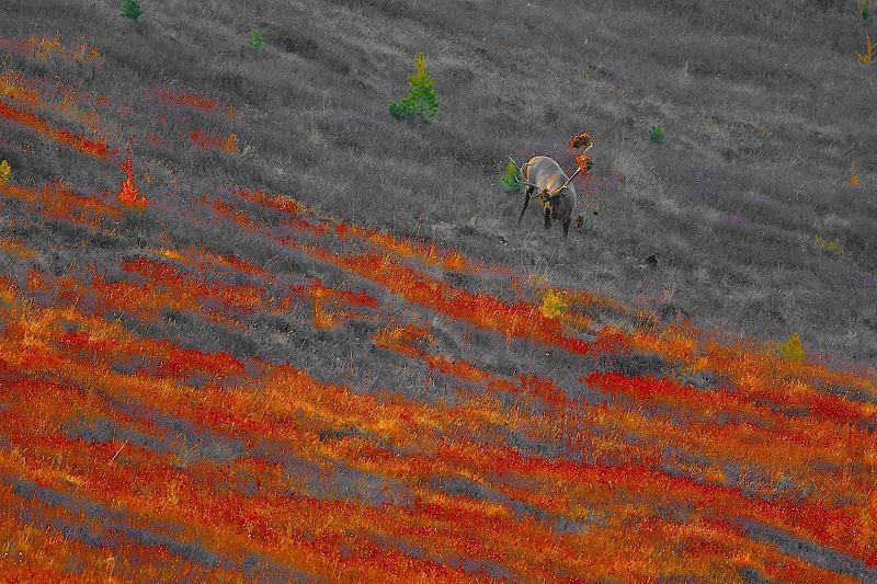 респ.алтай,аргут,буртулдак,гон,марал,горы,тайга,осень,сентябрь,природа.путешествие осенние ритмы маральего гонаphoto preview
