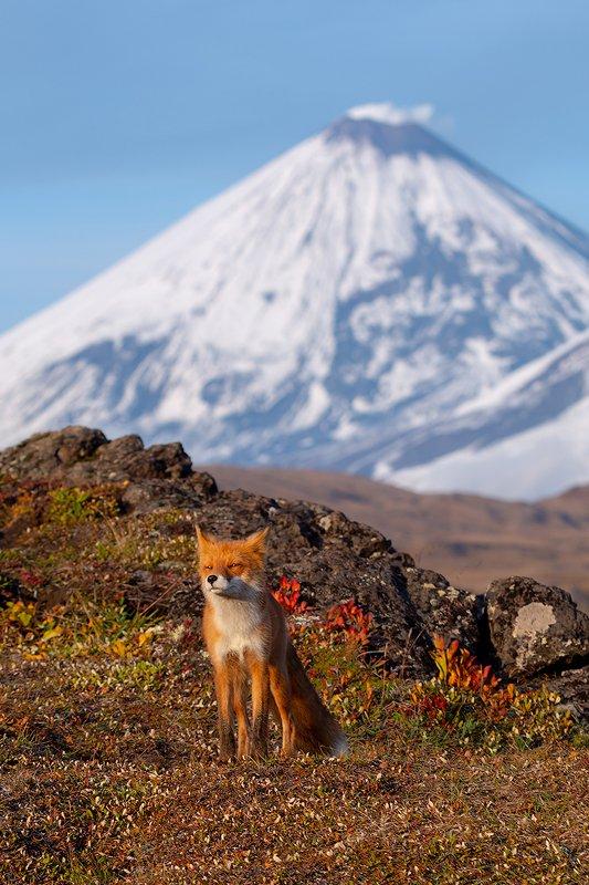 камчатка, лиса, природа, путешествие, фототур, животные, осень Малыш и Великанphoto preview